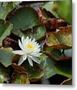 Single Water Lilly  Metal Print