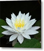 Single While Water Lily On Black Background Metal Print