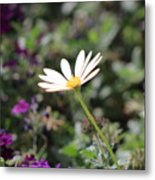 Single White Daisy On Purple Metal Print