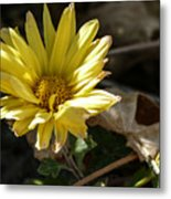 Single Yellow Mum Metal Print