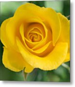 Single Yellow Rose Metal Print