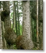 Sitka Spruce Burls On The Olympic Coast Olympic National Park Wa Metal Print by Christine Till