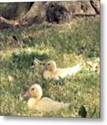 Sitting Ducks Metal Print