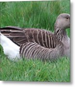 Sitting Goose Metal Print