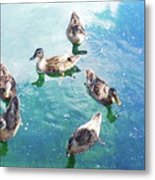 Six Ducks Swim Together Metal Print