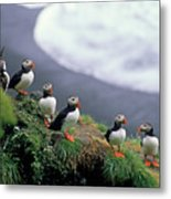 Six Puffins Perched On A Rock Metal Print