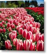 Skagit County Tulip Festival Metal Print