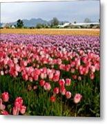 Skagit Valley Tulip Festival Metal Print