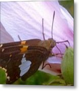 Skipper Butterfly With White And Orange Colors Metal Print