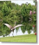 Skipping Sandhill Crane By Pond Metal Print