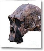 Skull Of Homo Erectus Metal Print