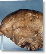 Skull Of Peking Man Metal Print