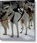 Sledge Dogs H B Metal Print