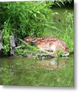 Sleep Fawn White Tailed Deer Metal Print