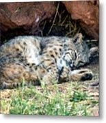 Sleeping Bobcat Metal Print