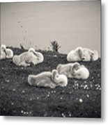 Sleeping Cygnets Metal Print