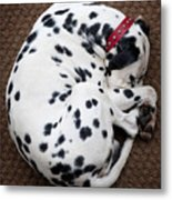 Sleeping Dalmatian Metal Print