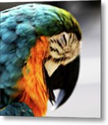 Sleeping Macaw Metal Print