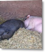 Sleeping Pigs In The Hay Metal Print