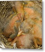 Sleeping Robins Metal Print