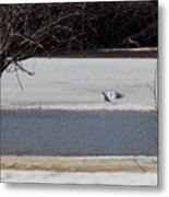 Sleeping Seagulls Metal Print
