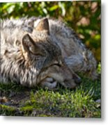 Sleeping Timber Wolf Metal Print