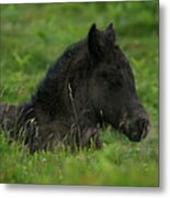 Sleepy Dartmoor Foal Metal Print