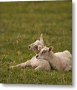 Sleepy Lamb Metal Print