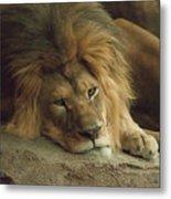 Sleepy Lion Metal Print