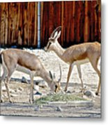 Slender-horned Gazelles In Living Desert Zoo And Gardens In Palm Desert-california Metal Print