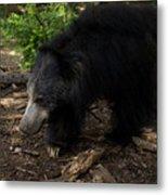 Sloth Bears Melursus Ursinusat Metal Print