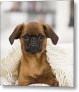 Small Brabant Griffon, Petit Brabancon, Dog  Metal Print
