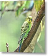 Small Budgie Birds With Beautiful Colored Feathers Metal Print