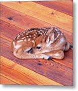 Small Deer Fawn Resting On Cedar Wood Deck Metal Print