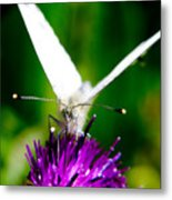 Small  White Cabbage Butterfly Pieris Rapae Metal Print