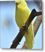 Small Yellow Budgie Parakeet In The Wild Metal Print