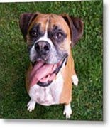 Smiling Boxer Dog Metal Print