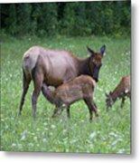 Smoky Mountain National Park Elk Cow Nursing Calf Metal Print
