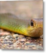 Smooth Green Snake ... Montana Art Photo Metal Print