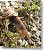 Snail On Rocks Metal Print
