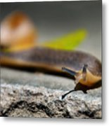 Snail Searching For Shell Metal Print