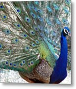 Snake Farm Peacock Metal Print