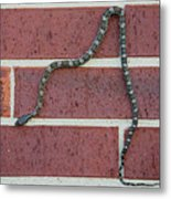 Snaking Down A Brick Wall Metal Print