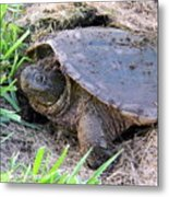 Snapping Turtle Laying Eggs Metal Print