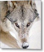Sneaky Wolf Metal Print