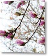 Snow Capped Magnolia Tree Blossoms 2 Metal Print