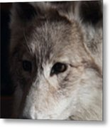 Snow Coyote Metal Print