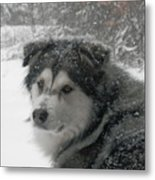 Snow Dog Metal Print