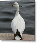 Snow Goose Metal Print