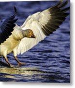 Snow Goose2 Metal Print